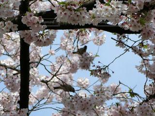桜と雀達の写真・画像素材[821602]