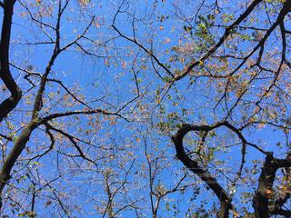 秋に桜の木を見上げるの写真・画像素材[861757]