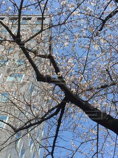 通勤途中の桜の写真・画像素材[1867626]