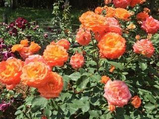 薔薇園にての写真・画像素材[29304]