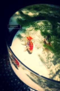 遊泳金魚の写真・画像素材[826203]