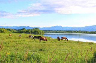 緑豊かな野原で放牧する馬の群れの写真・画像素材[2272795]