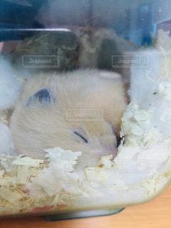 すやすや眠るキンクマの写真・画像素材[1754036]