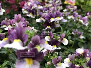 紫色の花のクローズアップの写真・画像素材[2923652]