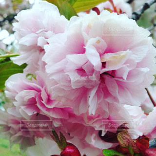 八重桜の写真・画像素材[822765]