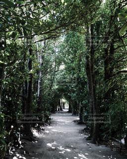 備瀬のフクギ並木の写真・画像素材[823546]