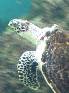 ウミガメの写真・画像素材[825124]