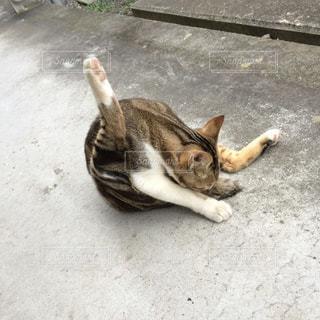 しっぽを舐める猫の写真・画像素材[884192]