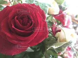 バラの花の写真・画像素材[884199]