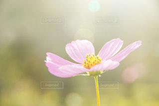 光の秋桜 - No.825497