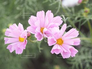 近くの花のアップの写真・画像素材[825593]