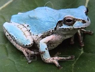 青いカエルの写真・画像素材[826713]