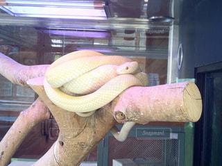 白蛇の写真・画像素材[856430]