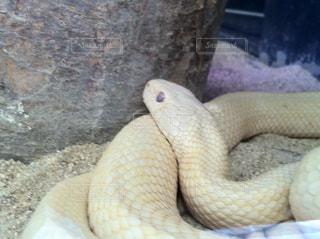 白蛇の写真・画像素材[856435]