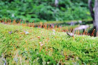 奥入瀬渓流の苔の写真・画像素材[826866]