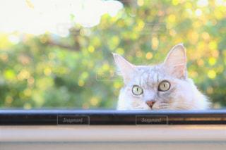 軽トラから顔を出す猫の写真・画像素材[829349]
