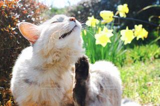 黄色い花と猫の写真・画像素材[830101]