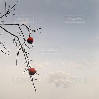 赤い柿の写真・画像素材[841101]