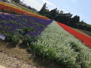 季節外れのお花の写真・画像素材[826779]