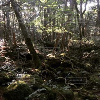 フォレスト内のツリーの写真・画像素材[1000134]