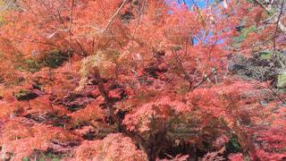 高尾山の紅葉の写真・画像素材[872806]