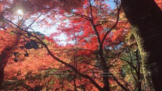 高尾山の紅葉の写真・画像素材[872809]