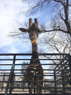 動物園のキリンの写真・画像素材[1060075]