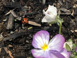 てんとう虫の写真・画像素材[1088906]