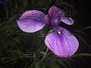 菖蒲園の菖蒲の写真・画像素材[1221029]
