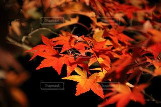 赤く色づくの写真・画像素材[830018]