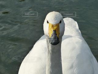 白鳥の顔の写真・画像素材[840319]