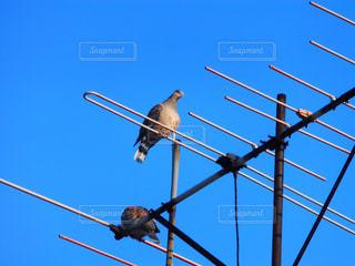 アンテナの上の鳩の写真・画像素材[840439]