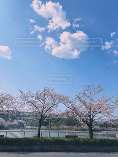 青空と桜並木の写真・画像素材[1111273]