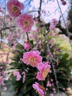梅の花の写真・画像素材[1130733]