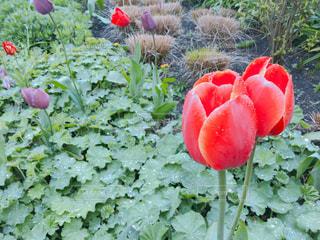 緑の葉と赤い花の写真・画像素材[1155337]