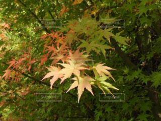 紅葉 - No.840868