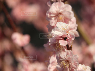 梅の花 - No.1096962