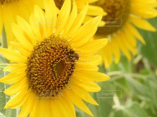 黄色の花の写真・画像素材[1358164]
