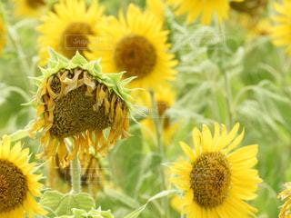 黄色の花の写真・画像素材[1358166]