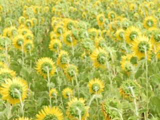 黄色の花の写真・画像素材[1358167]