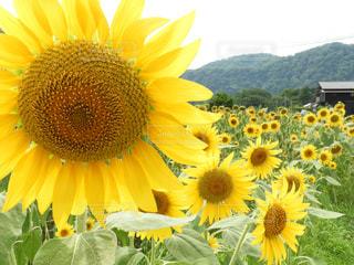黄色の花の写真・画像素材[1358169]