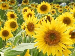 黄色の花の束の写真・画像素材[1358172]