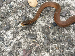 蛇の写真・画像素材[831938]