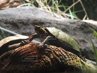 turtleの写真・画像素材[832751]