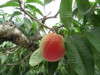 peachの写真・画像素材[832874]