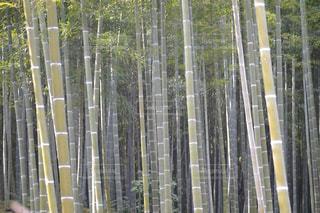 竹の写真・画像素材[832506]
