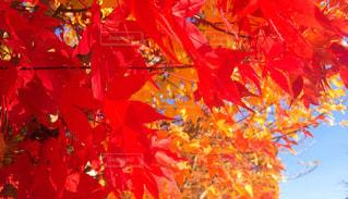紅葉のグラデーションの写真・画像素材[833089]