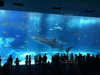 ジンベイザメの写真・画像素材[833351]