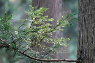 木漏れ日受ける杉の小枝 X-T10の写真・画像素材[840397]