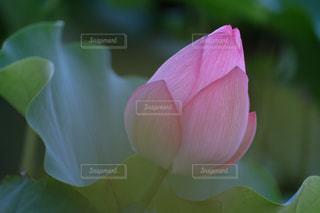 開花を待つ蓮の花  蕾み X-T10の写真・画像素材[840566]